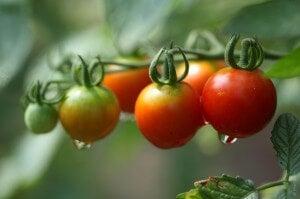les bienfaits de la tomate sont nombreux