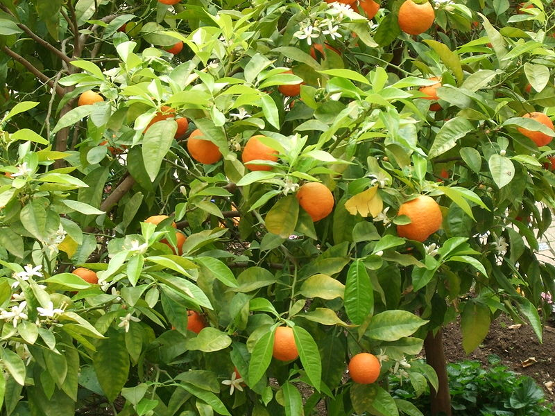 Fleurs d'orange amère