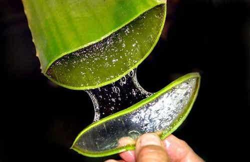 Comment préparer l'aloe vera pour traiter la constipation ?