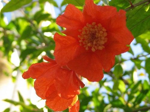 les bienfaits de la grenade et des ses fleurs