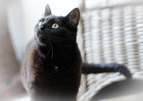 L'huile 'olive pour les chats.