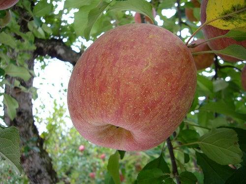 la pomme est un des meilleurs laxatifs naturels