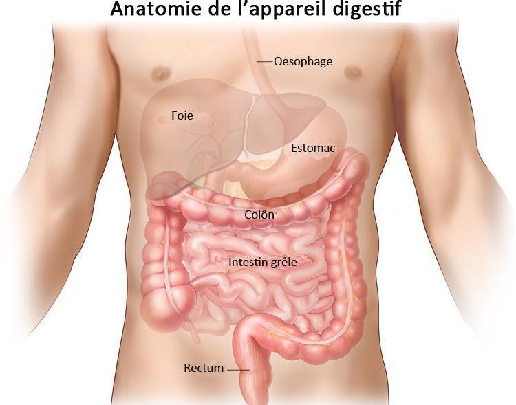 Anatomie de l'appareil digestif