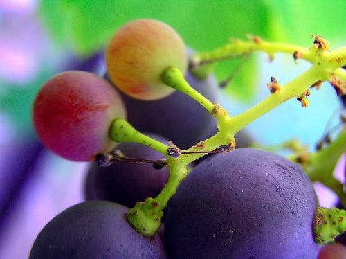 Le raisin fait partie des analgésiques naturels.