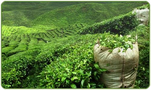 Adoptez le thé vert de manière naturelle.