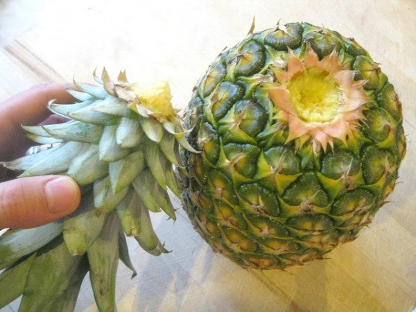 comment faire pousser un ananas : la couronne