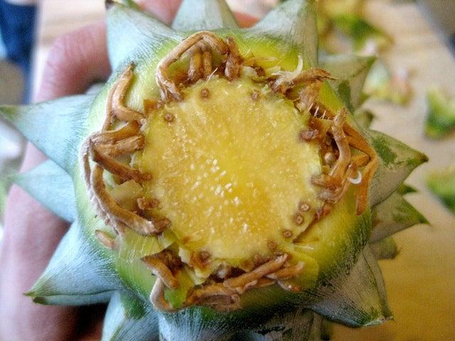 faire pousser un ananas avec la tête