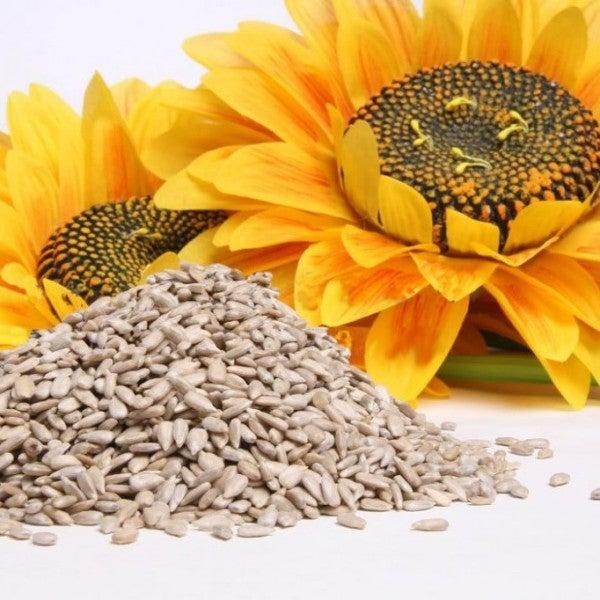 graines de tournesol1