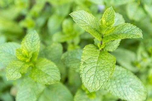 Menthe faisant partie des plantes qui attirent des énergies positives