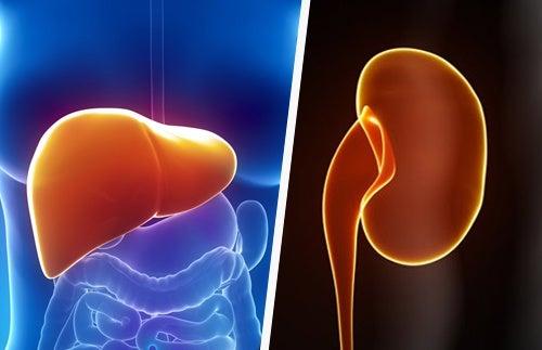 Comment maintenir naturellement le foie et les reins en bonne santé ?