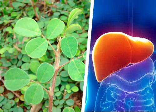 Découvrez la plante qui aide le foie à se régénérer