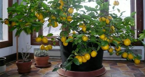 Comment faire pousser un citronnier avec une graine chez for Comment entretenir un citronnier