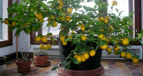 planter une graine de citron