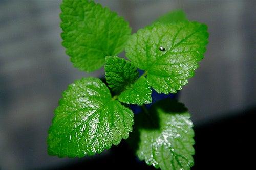 limonade au concombre gingembre et menthe :  propriétés de la menthe