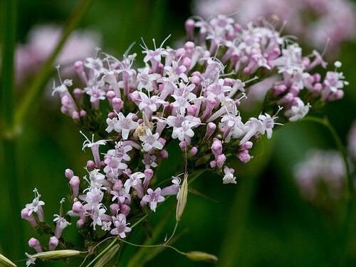 plantes idéales contre l insomnie : valériane