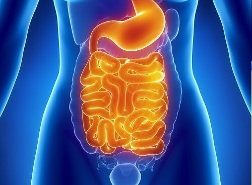 les intestins et la santé