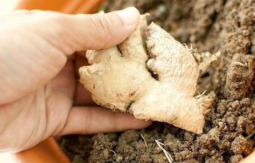 Comment cultiver du gingembre chez soi ?