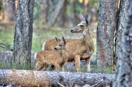 cerfs-animaux-fuite-Park-Ranger-500x330