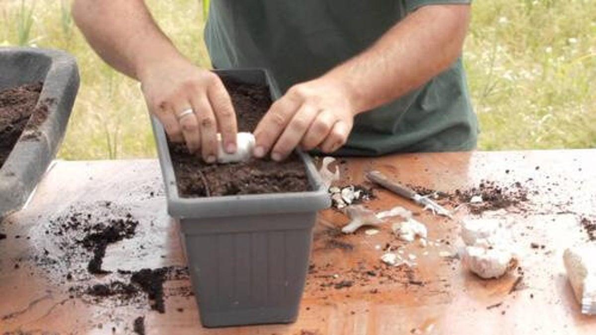 Comment Cultiver Les Oignons comment planter de l'ail et de l'oignon chez vous