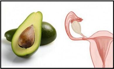 avocat-uterus