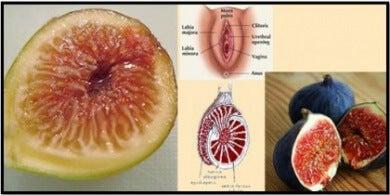 figue-organe-sexuel