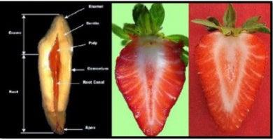 fraise-dents