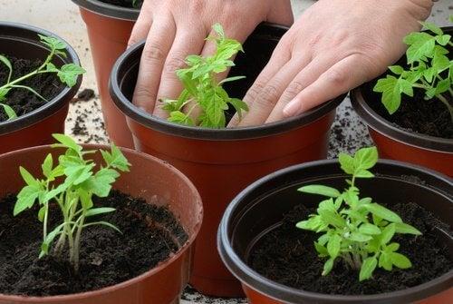 planter le pied de tomate
