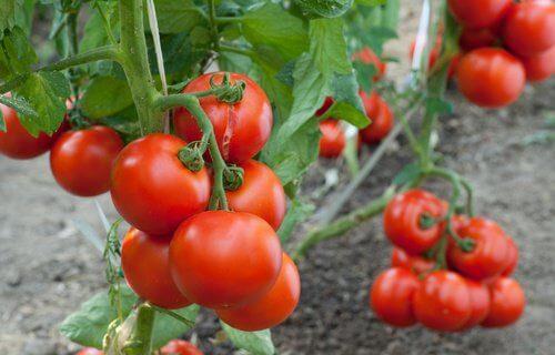 Idées pour cultiver des tomates chez soi