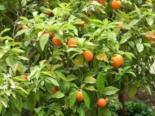 Oranger-amer-500x375