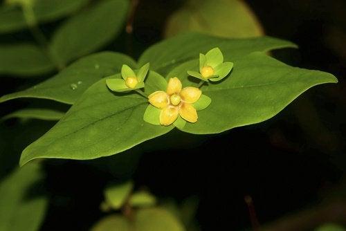 remèdes contre les douleurs au genou : fleurs de millepertuis