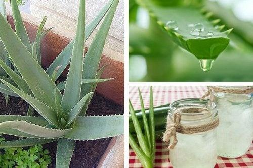 Découvrez pourquoi il est bon de cultiver de l'aloe vera chez soi