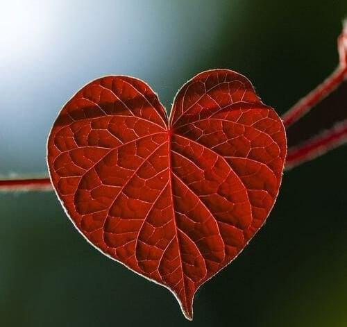 feuille en forme de coeur.
