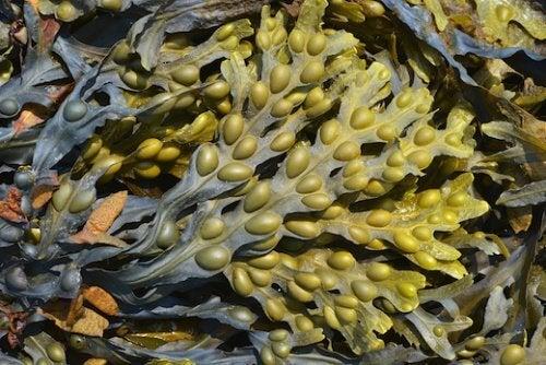 L'iode des algues aident à contrôler les symptômes de l'hypothyroïdie.
