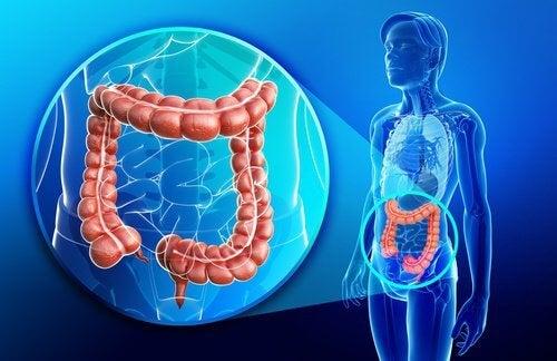 système des intestins