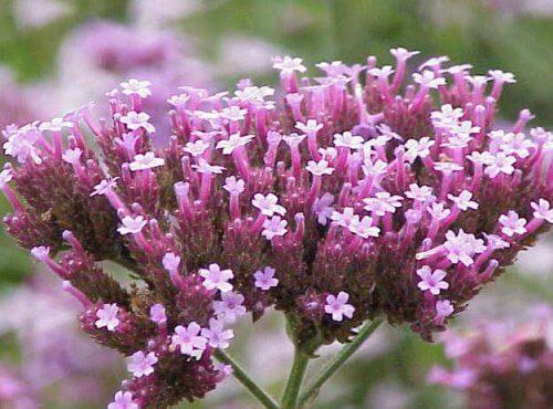 Verveine-fleurs-500x370