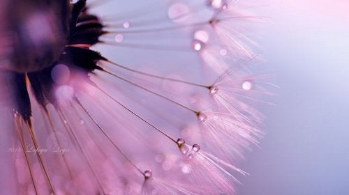 pissenlit-rose-qui-represente-l-amour-500x280