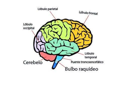 Les parties et les fonctions principales du cerveau