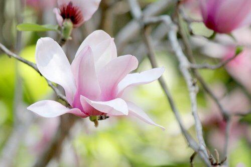 Magnolia-500x334