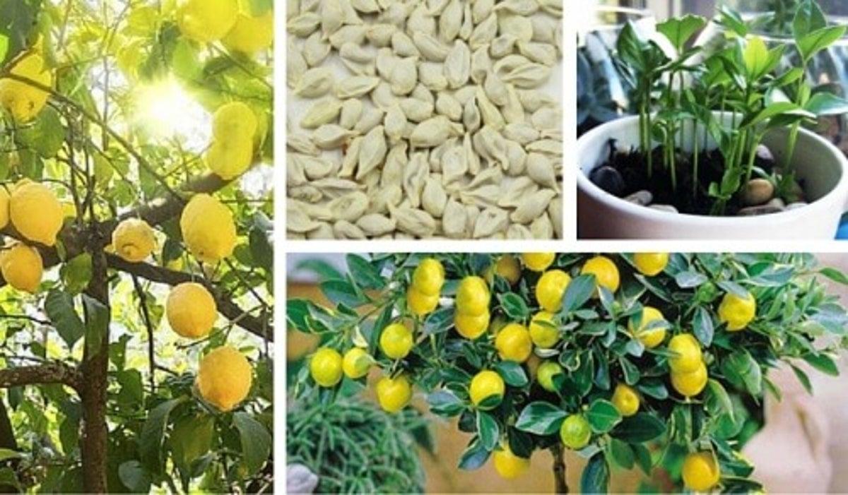 Comment Cultiver Un Citronnier En Pot comment faire germer des graines de citron pour obtenir un