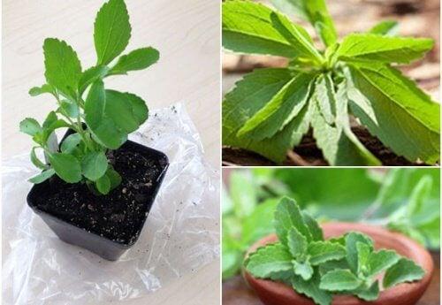 Comment cultiver de la stévia chez vous pour profiter de ses propriétés édulcorantes