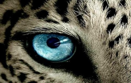 oeil-de-tigre