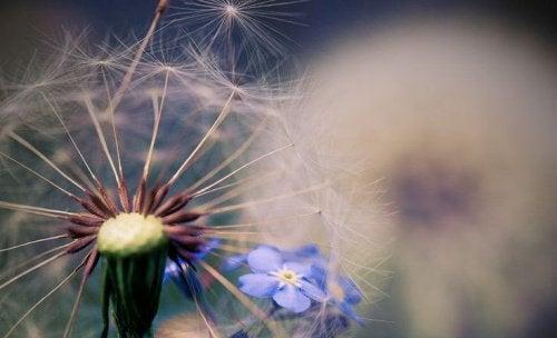 Pissenlit-fleur-bleue-500x304