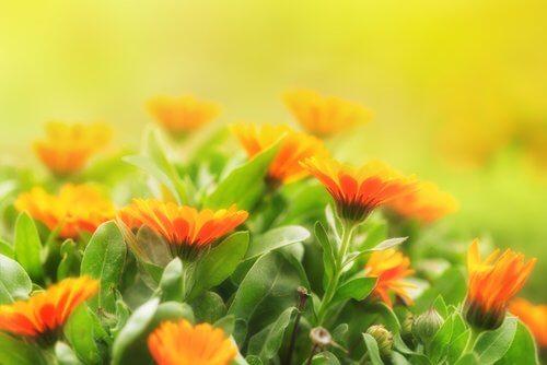 fleur de calendula moustiques
