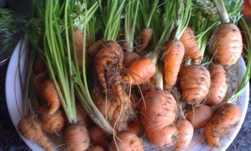 Récolte des carottes.