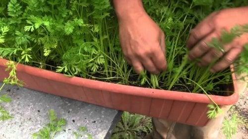 carottes-dans-jardiniere