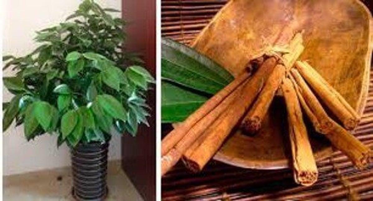 Apprenez à cultiver de la cannelle chez vous - Améliore ta Santé