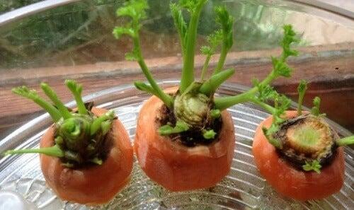 Comment cultiver des carottes chez vous ?