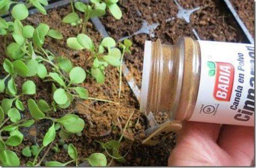 Et si vous donniez de la cannelle à vos plantes ?
