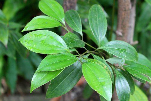 plante-cannelle-500x334