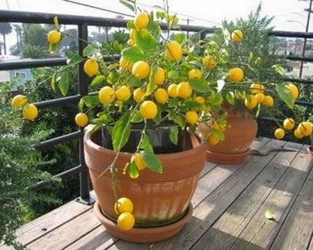 le citronnier Meyer parmi les arbres fruitiers